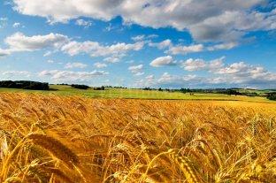 En 6 años se triplicaron  las hectáreas de trigo  -  -