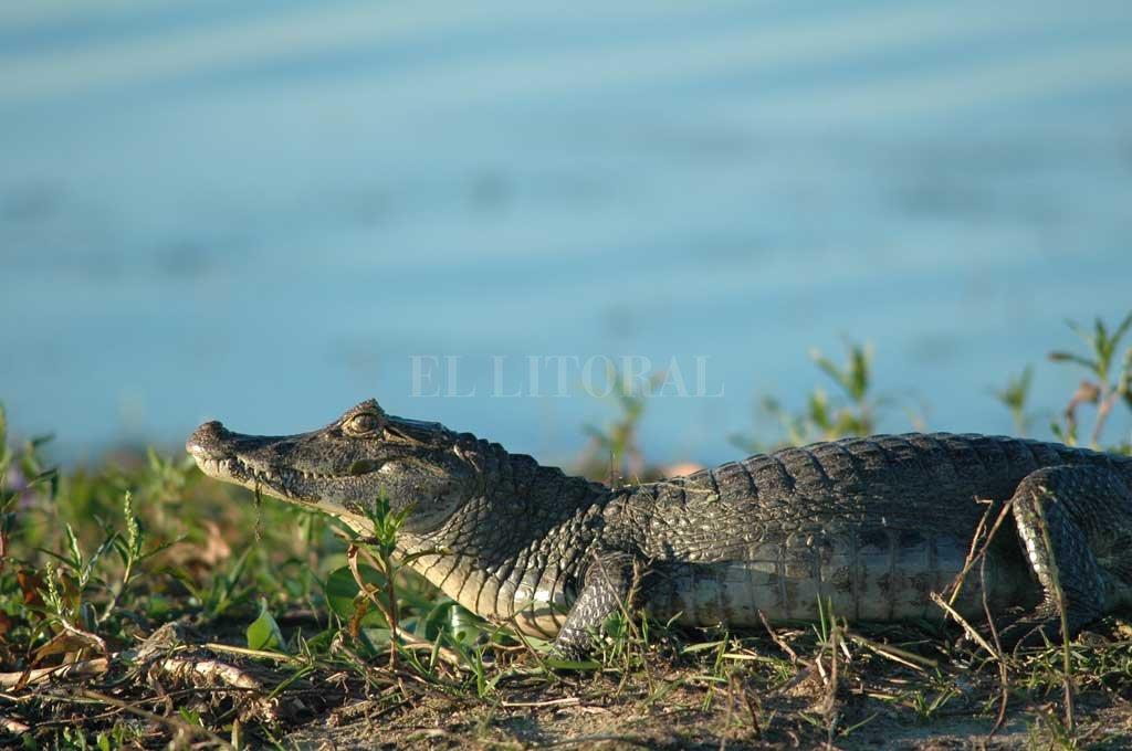 """En 30 años, fueron reintroducidos más de 80 mil yacarés a su hábitat  - Un yacaré """"ñato"""" (también conocido como overo) descansa en la orilla del río Corrientes, al sur de los esteros del Iberá. -"""