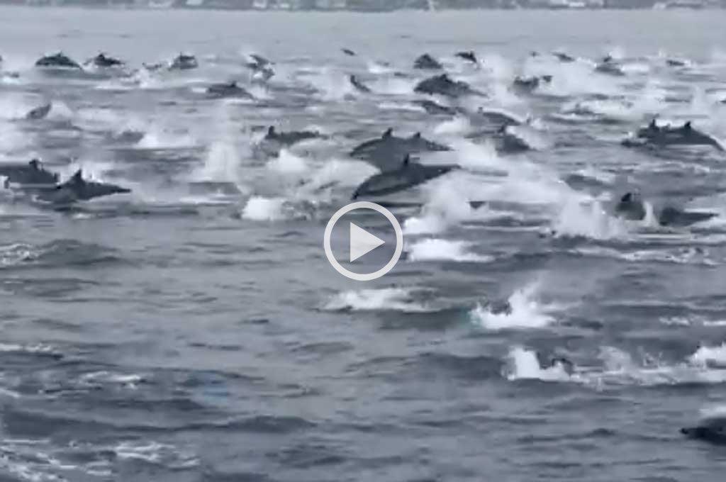 Video: impactante manada de delfines en California