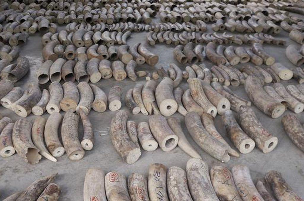 Singapur hace su mayor incautación ilegal de marfil