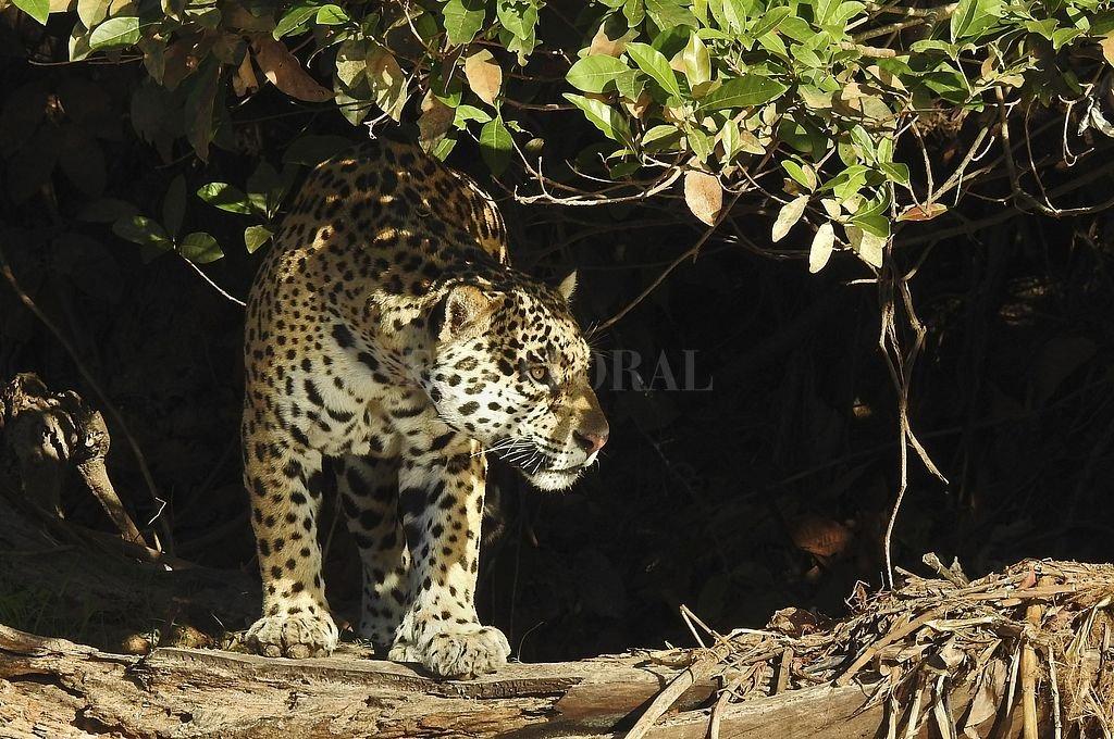 El yaguareté es una de las pocas especies de la fauna argentina declarada como Monumento Natural Nacional por la Ley Nº 25.463, no obstante está en peligro de extinción. Crédito: Telam