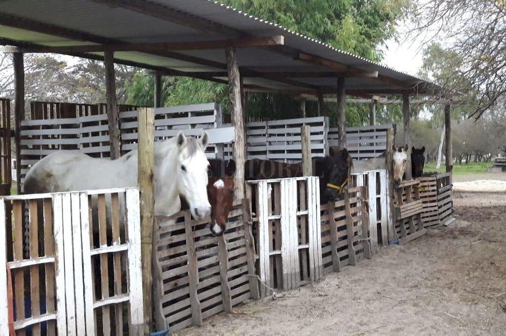 Rescatados. La ONG tiene 18 caballos que se rehabilitan en el predio de Colastiné.  Crédito: Gentileza SOS Caballos