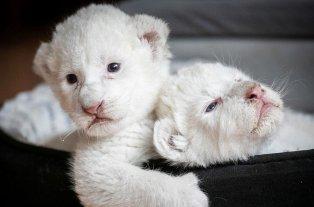 Fotos y videos: Nacieron dos leones blancos en cautiverio