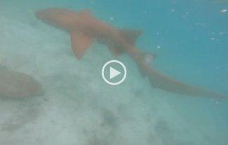 Video: Un tiburón acechó a un buzo y el hombre lo golpeó con su cámara para defenderse