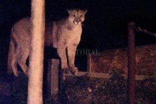 Mataron a un puma que apareció en el patio de una casa