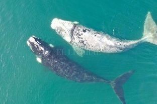 Una ballena franca pseudo albina recorre las aguas de la costa en Las Grutas