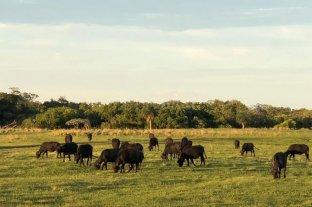 Cuota Hilton de búfalos, un negocio que todavía pasa desapercibido