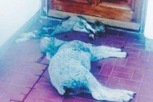 Dejaron dos corderos muertos frente a la casa de un intendente pampeano