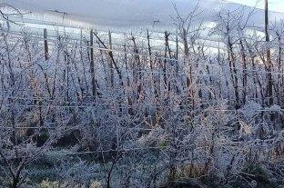 Neuquén: el frío hace peligrar las cosechas