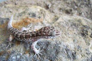 Encontraron una nueva especie de lagarto en Corrientes