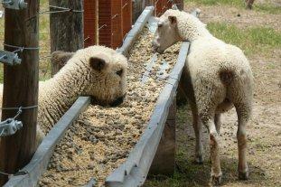 Ovinos y caprinos en Santa Fe: falta oferta para poner a funcionar la faena