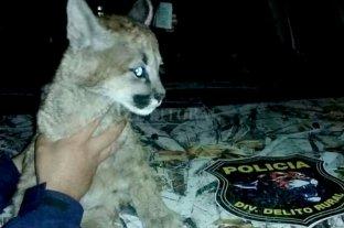 Rescatan a un cachorro de puma que tenían de mascota en una casa