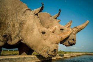 Embriones in vitro para salvar al rinoceronte blanco de la extinción