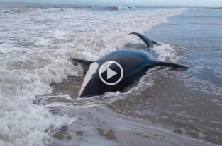 Video: 7 orcas quedaron varadas en Mar Chiquita -  -