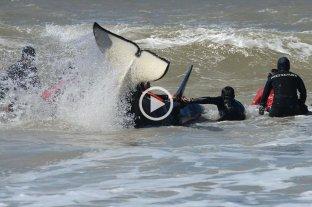 Liberaron a seis orcas que estaban varadas en Mar Chiquita y una séptima murió