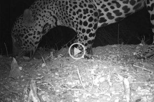 Registran por primera vez imágenes de un yaguareté en El Impenetrable chaqueño -  -