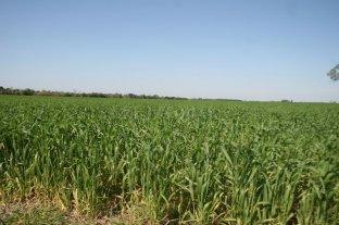 El trigo, favorecido por las lluvias