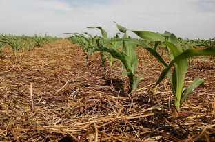 Vicia, el nuevo aliado del maíz