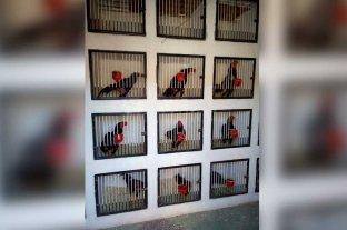 Secuestraron gallos de riña en barrio Santa Rosa de Lima