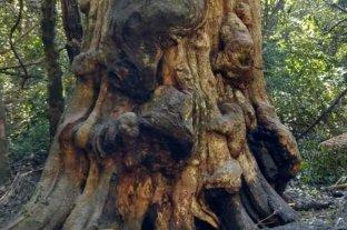 Quiso calentar agua y terminó incendiando el árbol más antiguo de Misiones
