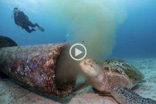 Video: Una tortuga marina se alimenta de desechos residuales