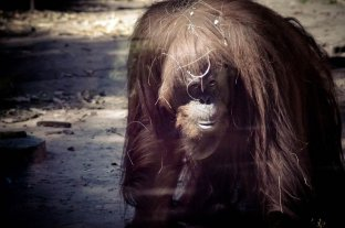 El fin de la espera: la orangutana Sandra será trasladada a EEUU
