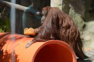 La orangutana Sandra llegó en buen estado al zoológico de Kansas