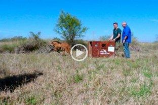 Video: liberaron al aguará guazú que rescataron en la ciudad de Santa Fe