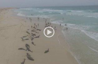 Video: Más de 100 delfines murieron tras quedar varados en una playa