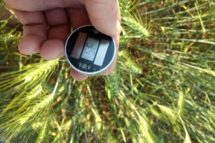 La sequía y el calor golpean los trigos en el norte