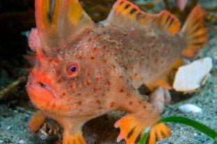 Campaña para proteger a los últimos pez-mano rojo en extinción