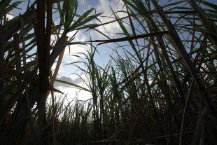 Agonía cañera: el oscuro panorama del azúcar en el norte santafesino