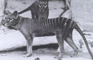 Aseguran haber visto al Tigre de Tasmania, extinto hace 80 años