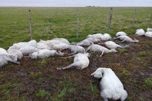 Dantesco: miles de ovejas murieron de hipotermia en Corrientes por el brusco cambio del clima -