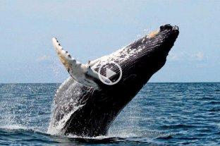 La ballena jorobada resurge de la casi extinción en el Atlántico Sur -  -
