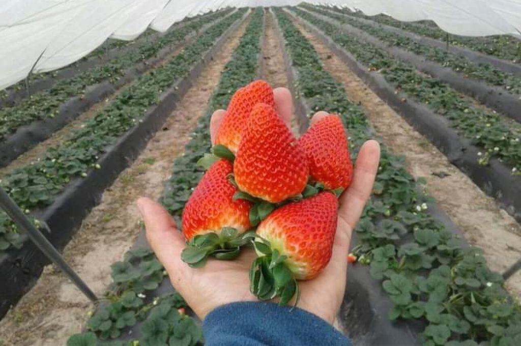 La región se prepara para celebrar una nueva fiesta de su cosecha mayor. <strong>Foto:</strong> Alfredo Ceballos