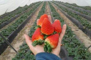 La Fiesta Nacional de la Frutilla celebra su 60 edición