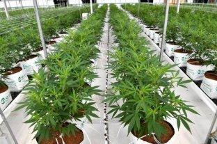 El INTA proyecta cultivar dos hectáreas de cannabis para uso medicinal en Río Negro
