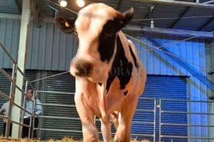 Pagaron una fortuna por un toro genómico