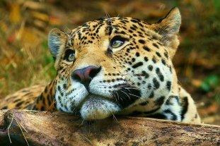 El 24% de los mamíferos argentinos en riesgo de extinción: el yaguareté y la mara entre las más amenazadas