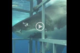 Video: Un tiburón blanco puso a prueba la resistencia de una jaula -  -