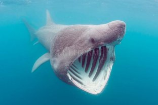 Avistaron en Estados Unidos un tiburón peregrino marcado en Irlanda