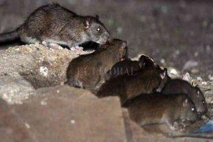 Villa la Angostura lanzó una campaña de prevención por la presencia de ratas