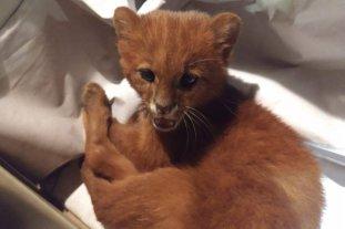 Lo adoptó pensando que era un gatito y resultó ser un puma