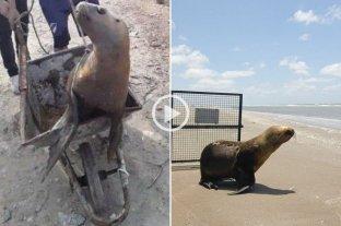 Video: De una carretilla al mar, el regreso de un León Marino a su hogar