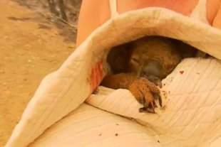 Murió Lewis, el koala rescatado durante los incendios de Australia