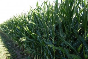 Maíz temprano: 96 % del cultivo en muy buen estado en el área de las cuencas lecheras