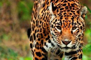 Advierten que en Argentina sólo quedan 250 ejemplares de yaguareté