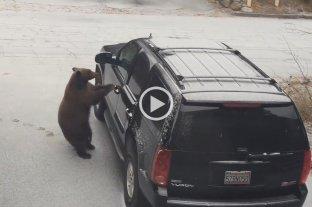 Video: Un oso abrió la puerta de un auto y se puso al volante