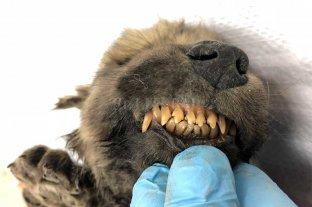 Hallaron restos de un perro siberiano de 18 mil años de antigüedad